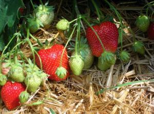 Pfingstaktion: Erdbeeren selbst pflücken